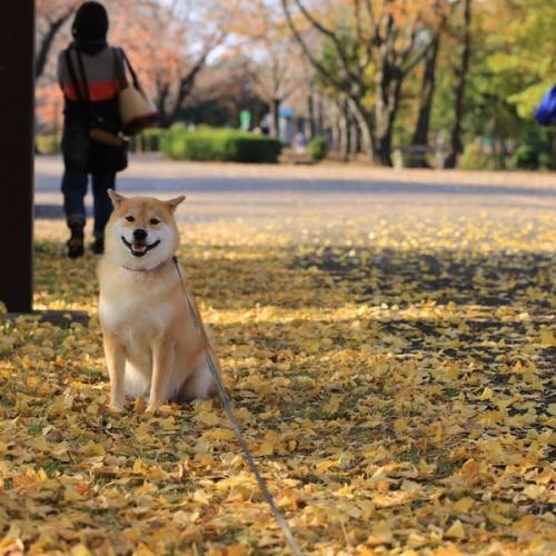 1130maru_shiba_dog10
