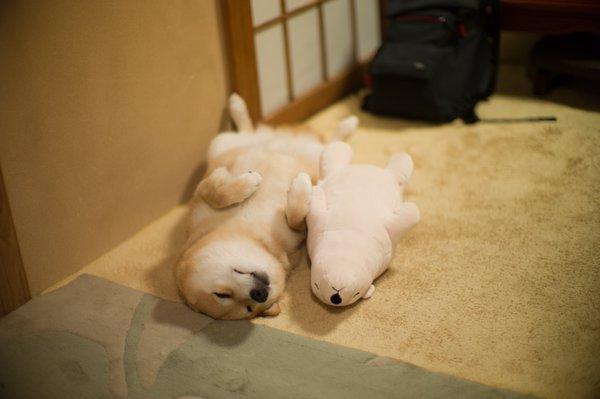 1130maru_shiba_dog11