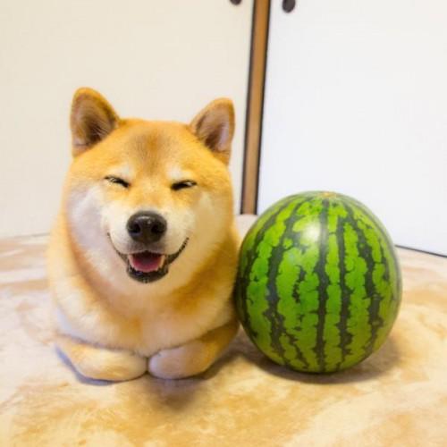 1130maru_shiba_dog3