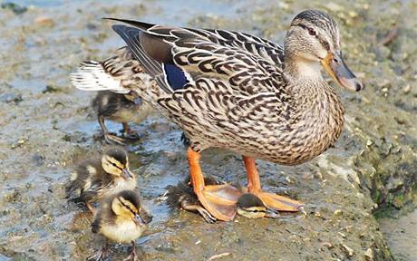 duck_mother