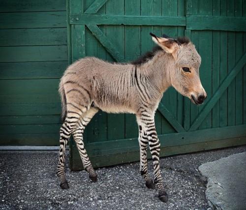 1218hybrid_animals14
