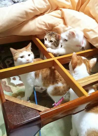 cat_kotatsu2