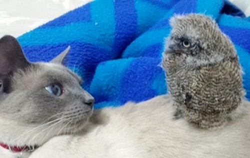 cat_owl_5