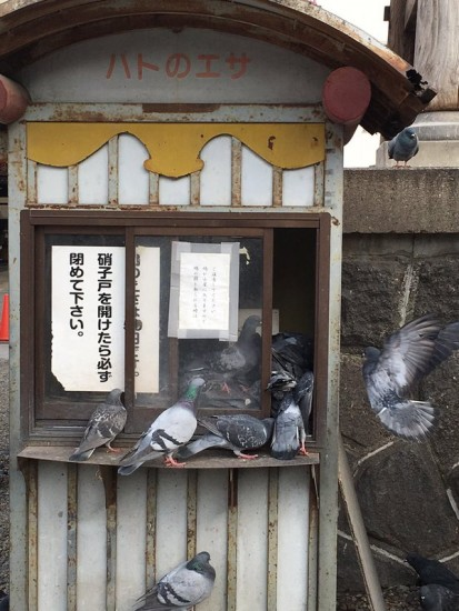 pigeon_oosukannon (1)