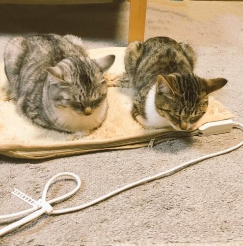 hotcarpet_cats (2)