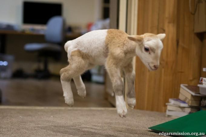 lamb_kitten6