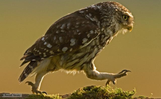 walkingowl (10)