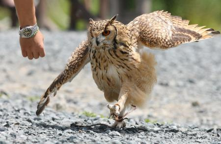 walkingowl (5)