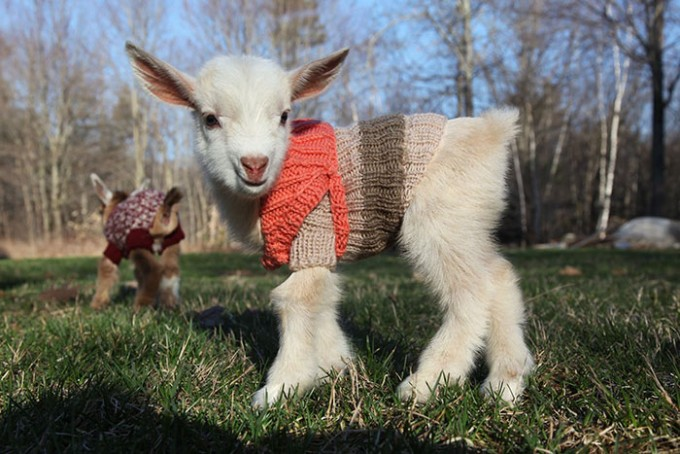 goat_sweater1
