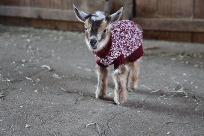 goat_sweater2