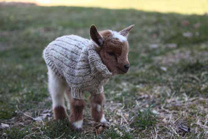 goat_sweater3