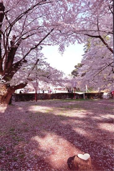 hirosaki_sakura11