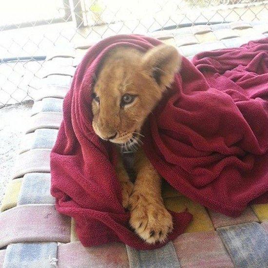 lion_mohu1