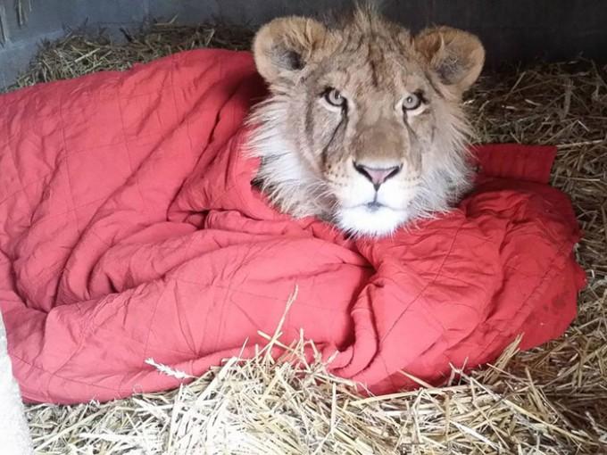 lion_mohu3
