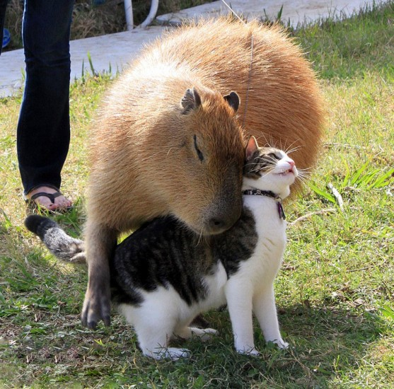 lovely_capybara (10)