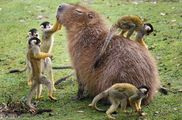 lovely_capybara (12)