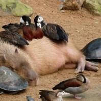 lovely_capybara