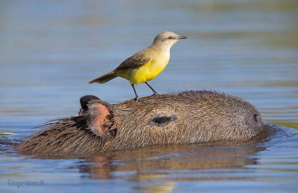 lovely_capybara (7)