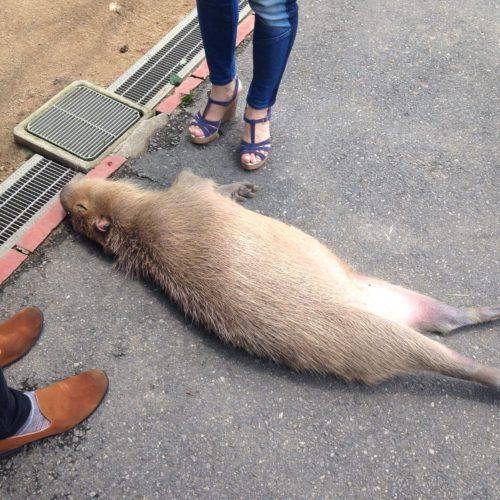 capybara_himejicentrapark1