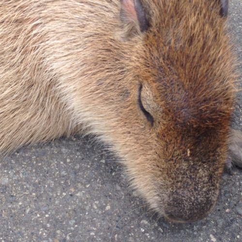 capybara_himejicentrapark2