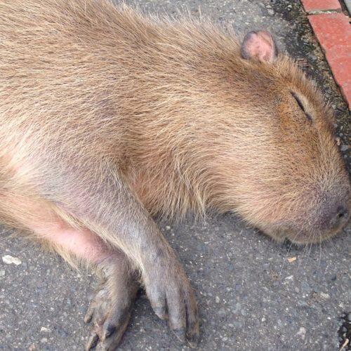 capybara_himejicentrapark3