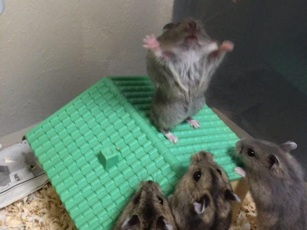 hamster_kyouso (1)