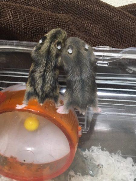 hamster_kyouso (2)
