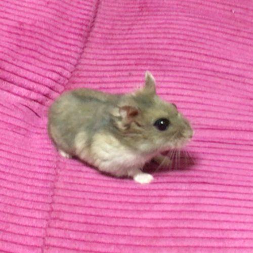 hamster_kyouso (5)
