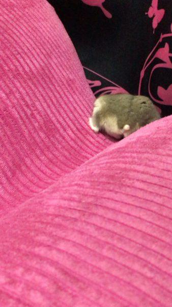 hamster_kyouso (7)