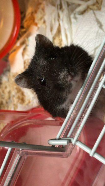hamster_kyouso (9)