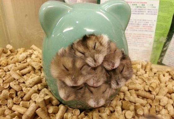 hamster_GTR (1)