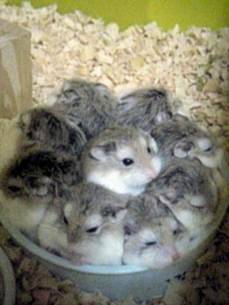 hamster_GTR (11)