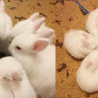 singichu_rabbit (12)