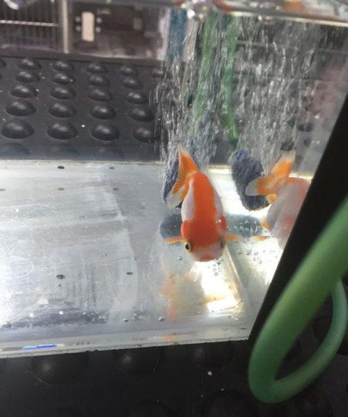 chokinggoldfish-6