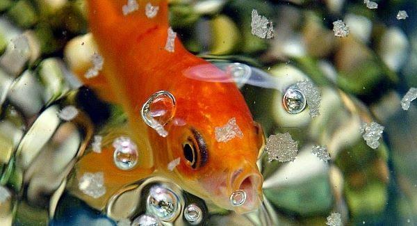 chokinggoldfish