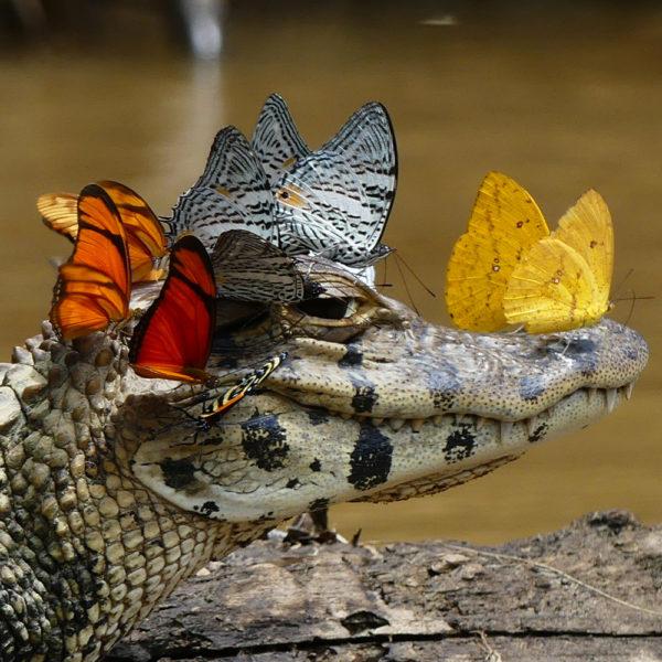 caiman_butterfly-2