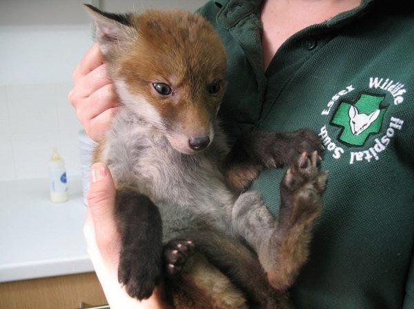 red_fox-1