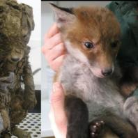 red_fox-8