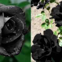 black_rose-16