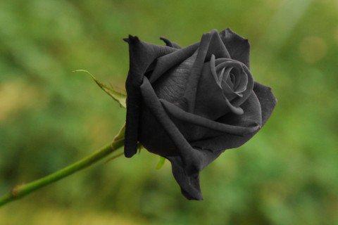 black_rose-3
