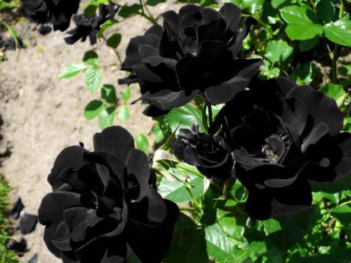black_rose-6