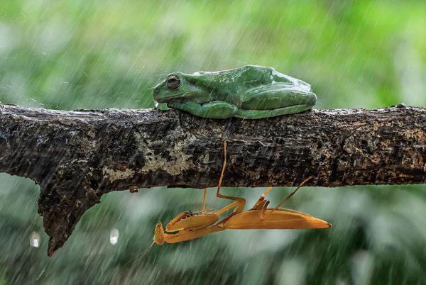 tantoyensen-frog-12