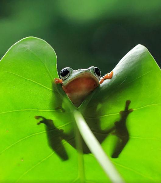 tantoyensen-frog-14