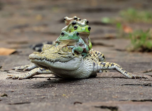 tantoyensen-frog-2